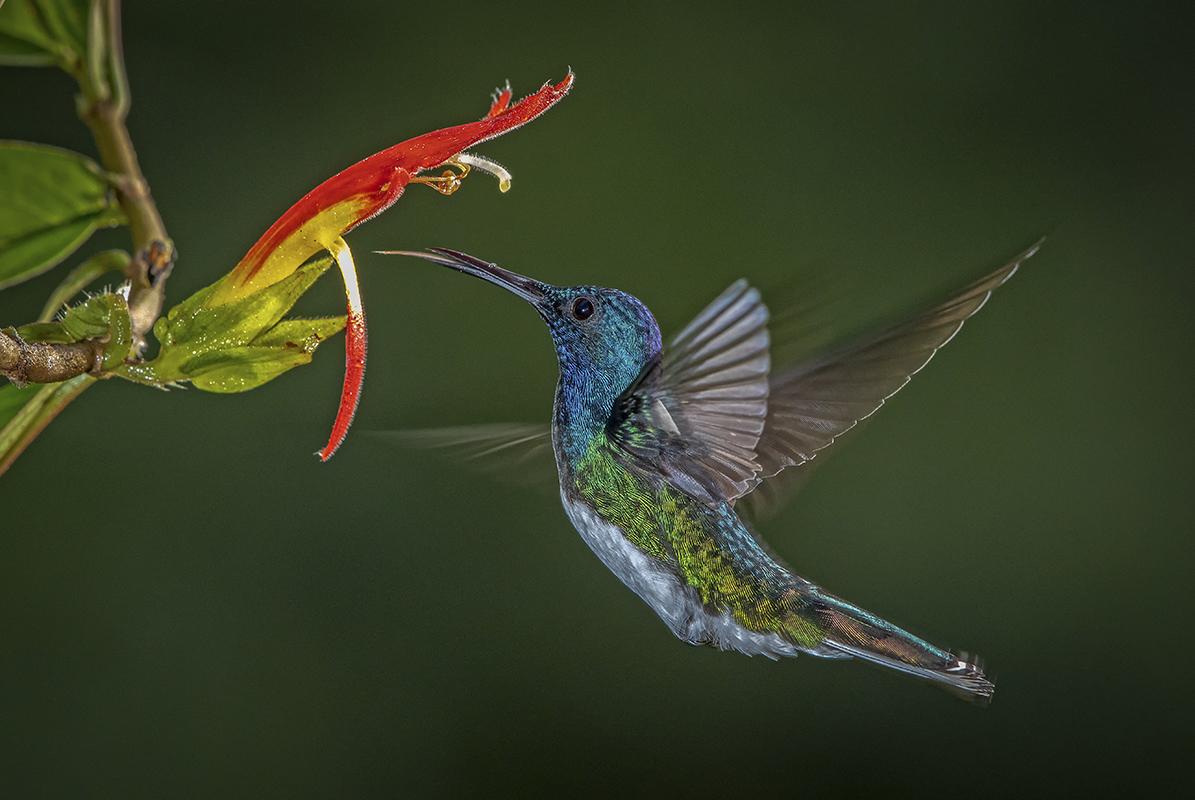 Kolibrie-@-Wim