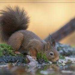 ©-Ruud-Rode-Eekhoorn